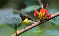 Purple rumped sunbird by Caesar Sengupta on 500px