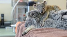 This will hit you right in the feels!   Baby koala won't leave mom during her surgery