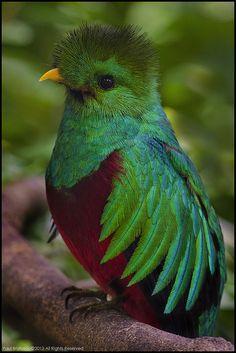 Resplendent Quetzal (Pharomachrus mocinno), Panama.   Flickr - Photo Sharing!