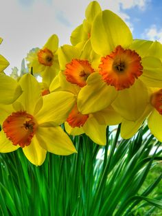 Wind Point Daffodils