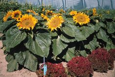"""Incredible Superior"" dwarf sunflower (yes, that is the variety name) This variety grows up to 36 inches with flowers that are 10 inches in diameter! We are planting 10 varieties of dwarf sunflowers as a temporary filler for the flower bed, as we can't plant bulbs until October or November in our hot desert climate."