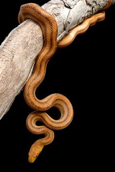 Yellow Rat Snake (Elaphe quadrivittata). This active reptile generally reaches lengths of 4' to 6' and is one of the most popular pet snakes in the world.