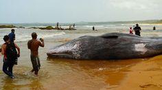 El cachalote sufrió cortaduras al quedar pillado entre las piedras y la orilla de la playa de San Miguel. Foto José E. Maldonado / www.miprv.com