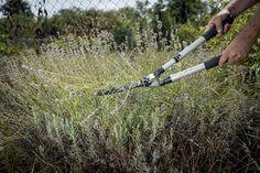 Nezanedbávajte pravidelný rez levandule. Podporíte ním vitalitu a ďalšie kvitnutie | Záhrada.sk