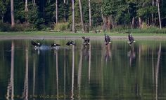 Eagles at Jordan Lake NC