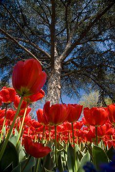 Tulip, Istanbul, Turkey