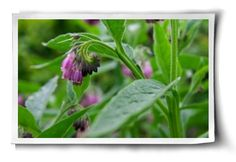 Post image for The Wonders of Comfrey