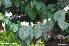 Montenegro, Plants, Colombia, Pictures, Plant, Planting, Planets