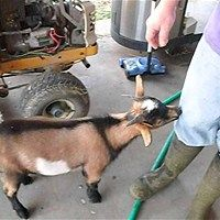 Goat think's it's a chicken