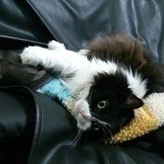 愛しのビット…😽 #ビット#ペルシャ#今は亡き#我が家のボス#会いたい#可愛い#愛猫#愛してるよ#猫大好き #にゃんすたぐらむ #多頭飼い #ねこ #猫#ネコ#cat#はちわれ