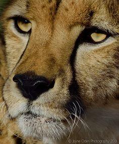 cheetah-shiley-sdz-safari-park-by-jayne-oden