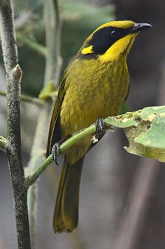 The Yellow-tufted Honeyeater (Lichenostomus melanops) is a passerine bird found in the south-east ranges of Australia from south-east Queensland through eastern New South Wales and across Victoria into the tip of Southeastern South Australia.