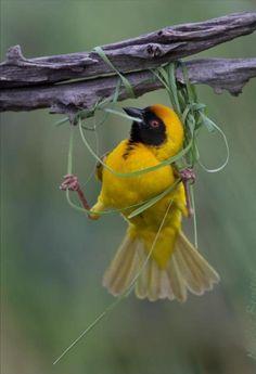 Weaver bird weaving a nest