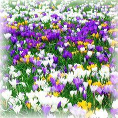 50% OFF - Carpet of Crocus Handmade Blank Card Crocuses Spring Flowers B201 £1.00