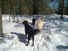 Dogs & goats: walk in the forest.