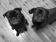 Black Pug, Pug Love, Health Benefits, Cute Puppies, Pugs, Group, Healthy, Board, Pretty