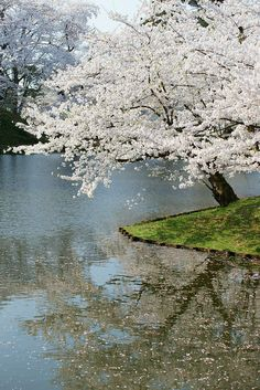 Hirosaki Park - Hirosaki park is one of the most famous place for cherry blossoms in Japan.