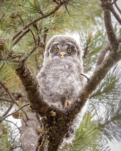 Baby great grey owl (in the wild as always). by Chris Greenwood / 500px