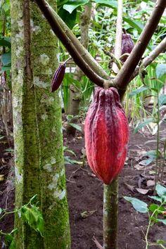 Coco de Indonesia