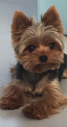 Yorkshire Terrier Cute - Doggy Dreamin: Searching for my running buddy - Puppies Yorkies, Yorkie Puppy, Cute Dogs And Puppies, Pet Dogs, Pets, Teacup Yorkie, Yorkie Cut, Mini Yorkie, Pomeranian Dogs