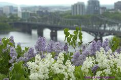 I like the smell of lilacs