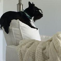Fergus on forbidden white chair #scottiedog #scottishterrier