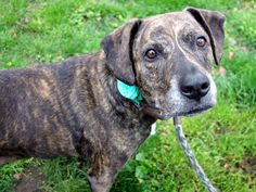 Manhattan Center SHALAH – A1072046 **SAFER: AVERAGE HOME** SPAYED FEMALE, BR BRINDLE / WHITE, LABRADOR RETR / AMERICAN STAFF, 7 yrs OWNER SUR – EVALUATE, HOLD RELEASED Reason PET HEALTH Intake condition UNSPECIFIE Intake Date 04/30/2016, From NY 10452, DueOut Date 04/30/2016,