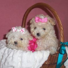 Bambina Mazie #puppy #maltipoo Maltipoo Puppies, Maltese Dogs, Cute Puppies, Cute Dogs, Dogs And Puppies, Poodle Mix, Little Dogs, Shaggy, Teacup