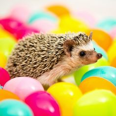 Scoping out the perfect Easter egg. Can never start sniffing for the treats too early.  #easteregghunt #tankthehedgehog (: @414photography)  #2015eastercontest @my_hedgehog_teazel