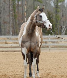 American Paint Horse stallion OH Justin Time