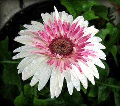 Watermelon Gerbera Daisy, Kentlands, Spring Flowers IMG_0740 Photograph by Roy Kelley using a Canon PowerShot G11 camera. Roy and Dolores Kelley Photographs