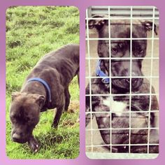 Meet Sophie who is currently looking for her forever home. She is a brindle cross Staffordshire Bull Terrier about 18months old. She loves attention and love. #safeandsound #rescue #rescuedog #staffy #staffie #bullterrier #dontshopadopt #dog #newlife #happy #love #givesomuch #giveadogachance #somanyneedanewhome #adoption #pet #beautiful #bestfriend #mansbestfriend www.safe-and-sound.org