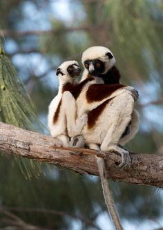 This family of Coquerel's Sifaka lemurs are among the many lemurs listed as an endangered