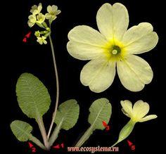 Первоцвет весенний — Primula veris L.