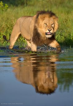 The lions in the Okavango Delta in Botswana have grown accustomed to their water logged environment.   Unlike typical feline behaviour, these cats actually take to water without too much fuss.   Here this big territorial male is crossing a deep water channel, instinctively growling and snarling at potential hidden dangers beneath such as Crocodiles.
