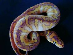 Lesser candied clown ball python