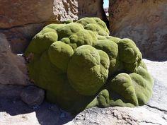Yareta (llareta: Azorella compacta) plant colony Bolivia (Uyuni) | Flickr - Photo Sharing!