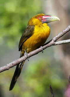 Araçari-banana - Saffron Toucanet (Pteroglossus bailloni)   Flickr - Photo Sharing!