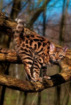 Bengal Cats ภเгคк ค๓๏ Bengal cat in a tree Beautiful Cats, Animals Beautiful, Cute Animals, Cute Kittens, Cats And Kittens, Cats Meowing, Cat Anatomy, Animal Gato, Gatos
