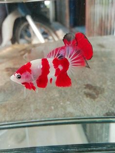 Gorgeous and beautiful betta fish (original wording) This is actually a koi fish. Koi Betta, Betta Fish Tank, Beta Fish, Pretty Fish, Cool Fish, Beautiful Fish, Tropical Fish Aquarium, Freshwater Aquarium Fish, Koi Fish Pond