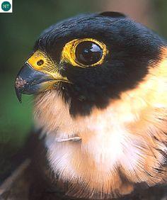 Chim Cắt ức cam Trung và Nam Mỹ Orange-breasted falcon (Falco deiroleucus)(Falconidae) IUCN Red List of Threatened Species 3.1 : Near Threatened (NT)(Loài sắp bị đe dọa)