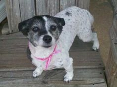 Snuggles is an adoptable Jack Russell Terrier Dog in Memphis, TN. Snuggles and her housemate Cuddles were surrendered to us when left with a family member who was highly allergic to them. Snuggles is 14 pounds, very sweet and attentive. She is 7 years old. Help us find a home for Snuggles. We so want this sweetie to find her home that we have waived our usual adoption fee - instead we ask for a donation from an approved home who can meet her needs. Please help sweet Snuggles.