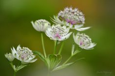 Photo Astrantia by judit filipinyi on 500px