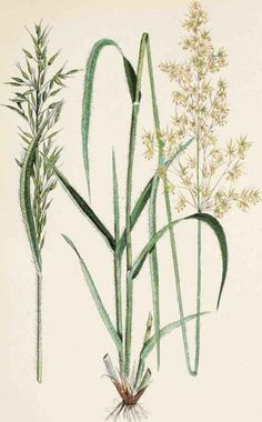 wild grasses, beautiful weeds, botanic illustration, design squish blog