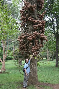 The cannonball tree (Couroupita guianensis)  is a spectacular South American tree that got its name from the shape and size of its fruit which resembles a cannon ball. The fruit is large, spherical and woody, ranging from 15 to 24cm in diameter. A single tree can bear as many as 200 or 300 fruits.