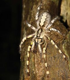 Its huge, fast, venomous and the size of a human face. For some, Poecilotheria rajaei, a giant tarantula discovered recently in Sri Lanka, is the stuff of nightmares.