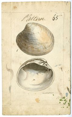 """Original archival hand colored pattern plate for James Sowerby's """"Mineral conchology of Great Britain. 1810-1845"""