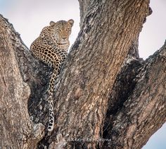 Website dedicate to Wildlife photography African Cats, African Animals, Wildlife Photography, Animal Photography, Cheetahs, Safari Animals, Leopards, Endangered Species, Big Cats