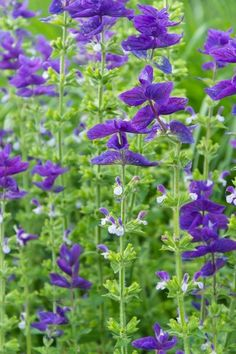 Salvia Horminum 'Blue Monday', Annual Sage 'Blue Monday' , Salvia Viridis 'Blue Monday', Annual Clary 'Blue Monday'