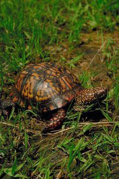 Russian Tortoise Diet Guide / Helpful Tips And Tricks Box Turtle Habitat, Eastern Box Turtle, Turtle Care, Tortoise Care, Russian Tortoise, Hens And Chicks, Reptiles And Amphibians, Tortoises, Cute Animals
